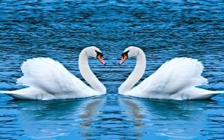 Астраханских лебедей в Клин посылать не собираются