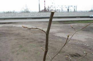Пострадавшее деревце на аллее Чайковского в Воткинске