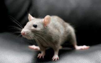 Мышь перепугала посетителей концерта симфонического оркестра в США